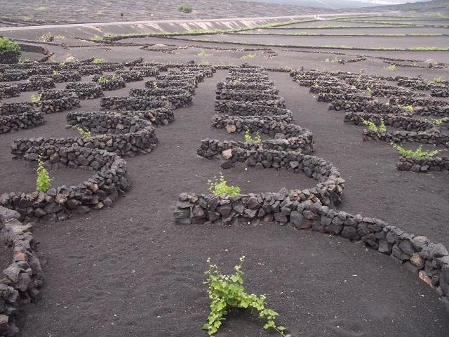 А это из винно-туристических впечатлений: виноградники на острове Лансароте в Канарском архипелаге. Земля черная, потому как вулканическая. А каменные полукруги защищают лозу от ветра Атлантики.